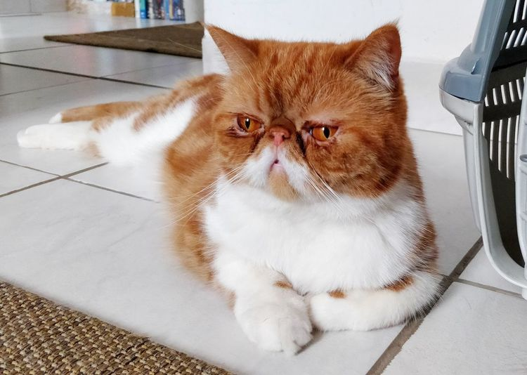 EyeEm Selects Pets Feline Domestic Cat Protruding Portrait Humor Close-up