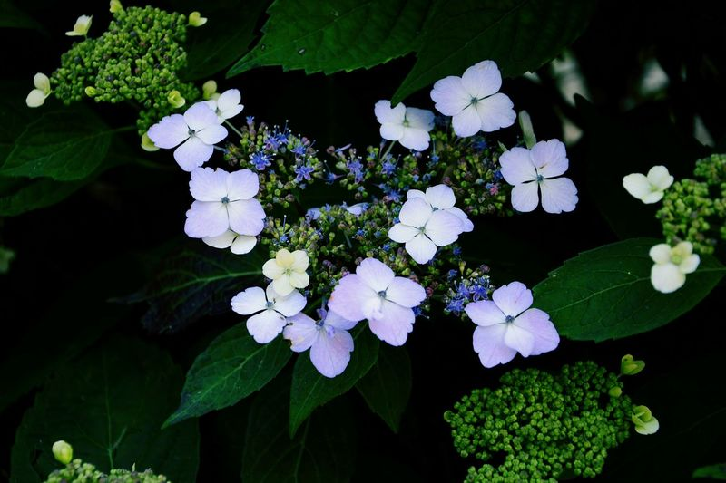 Delicate Bloom Hortensia Colours Details Of Nature EyeEm Nature Lover Blooming Colors Light Blue Elegance In Nature 18-105mm Natural Bouquet