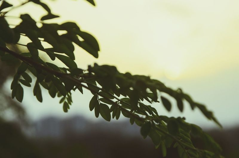 Nature Plant Silhouette Branch No People Sunset Beauty In Nature Freshness Landscape_photography Nikonindia Nikonphotography Nikon7000 Growth Leaf Agriculture Outdoors Close-up Tree Day Sky