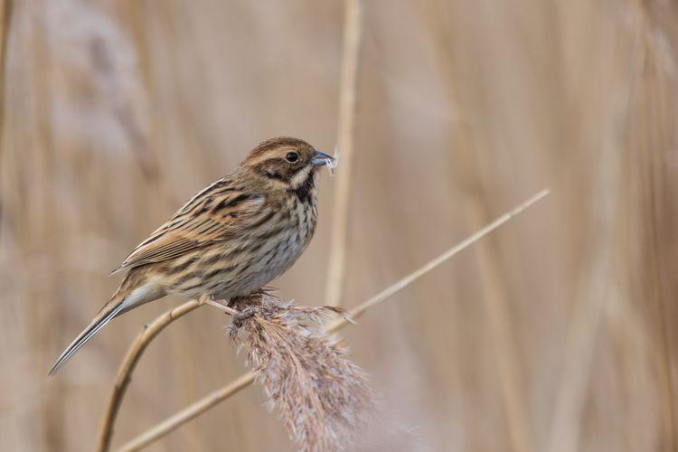 Female Reed