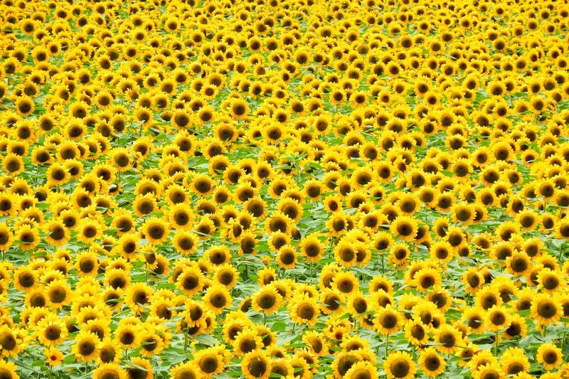 Sunflowers Sunflower🌻 Full Frame Backgrounds No People Close-up Pattern Green Color Yellow Day Nature Beauty In Nature Natural Pattern Plant