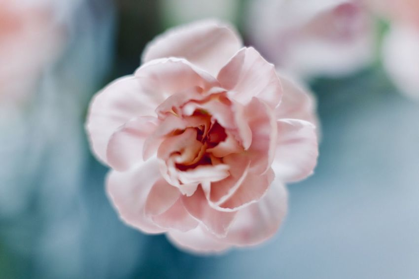 Trosanjer Anjers EyeEm Selects Flower Flowering Plant Beauty In Nature Pink Color Petal Close-up Plant Freshness Fragility Flower Head Vulnerability  Softness Nature