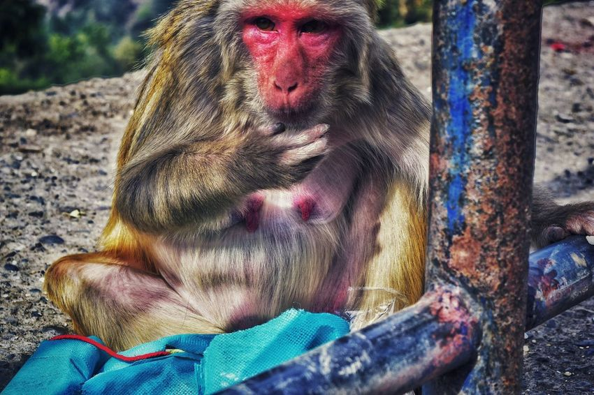 Red Monkey Monkey Sitting Sunbathing Watching Red Monkey Hairy  Mammal Sun Rays Hill Station Chilly Weather Outdoors Day Hiking Adventures Roadside Shots Colourful Nature Animal Portrait Abstract Portrait Close-up Thoughtful Inner Power Visual Creativity