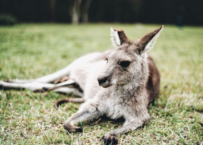 Close-Up Of Kangaroo Lying On Grassy Field