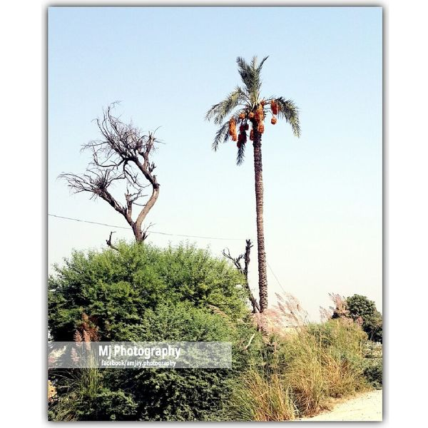 Date Palm Plant Palm Tree Nature Tree Clear Sky Nature