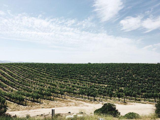 Field Wine Vineyard Landscape Rural Scene Nature Sky Scenics EyeEm Selects