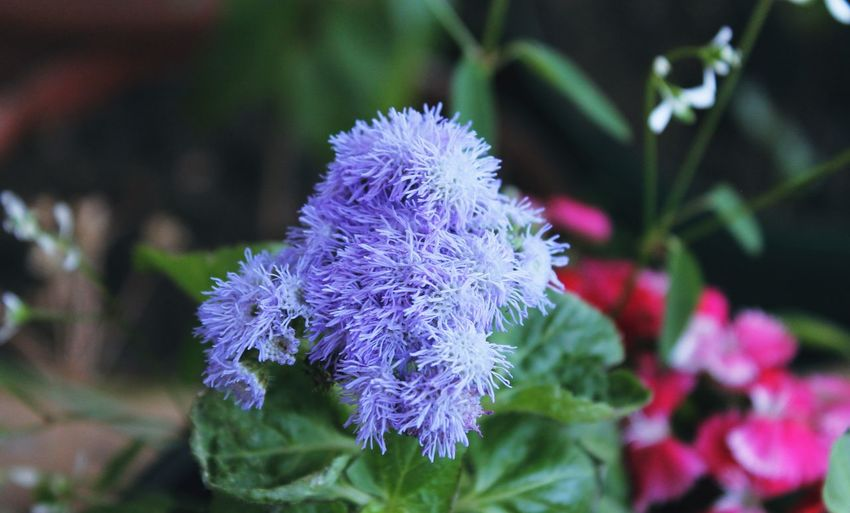 Ageratum Houstonianum Botany Flower Fragility In My Garden Nature New Life No People Selective Focus Springtime