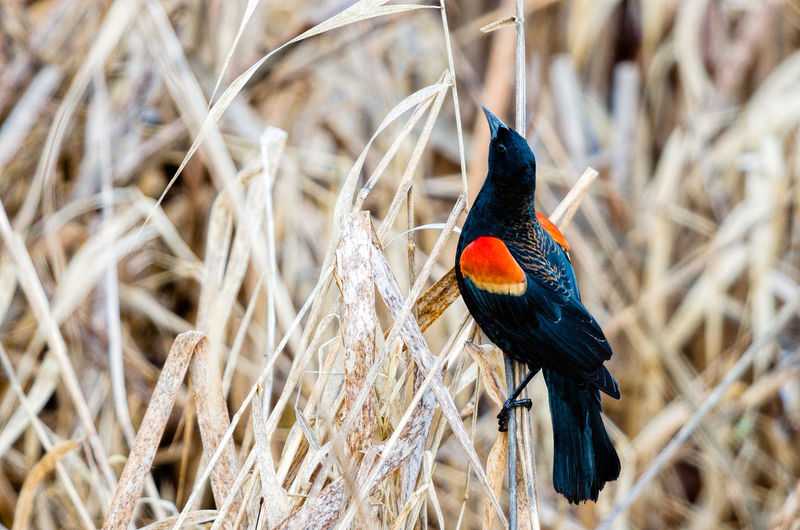 Red-Winged Blackbird Perching On Dried Plant