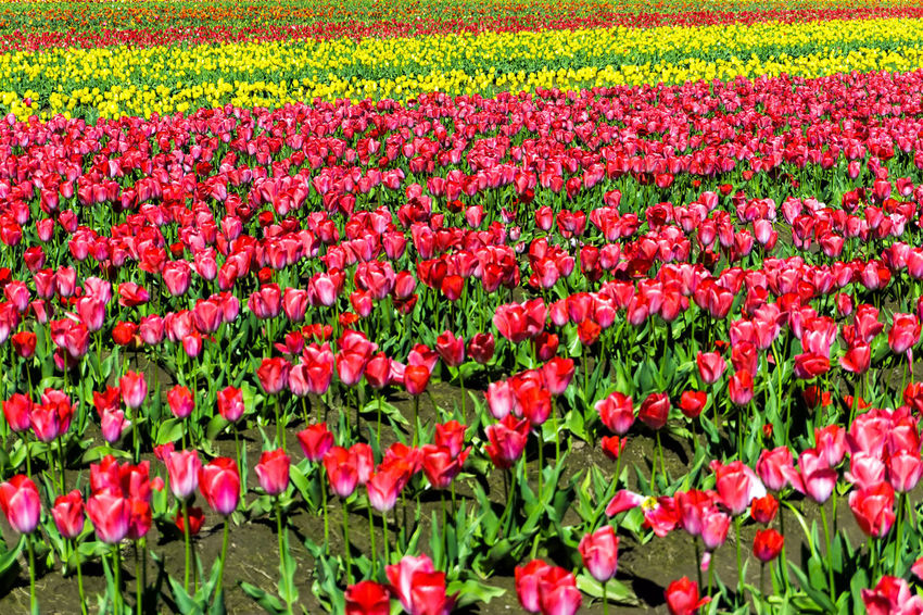 Beautiful field of red and yellow tulips in Woodburn, Oregon Agriculture Bloom Blossom Countryside Farm Field Fields Floral Flower Flowers Garden Green Landscape Nature Oregon Outdoors Plant Rural Scenic Season  Tulip Tulips United States USA Woodburn