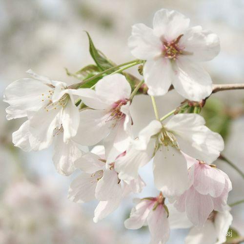 Sakura Blossom Plants And Flowers Nature
