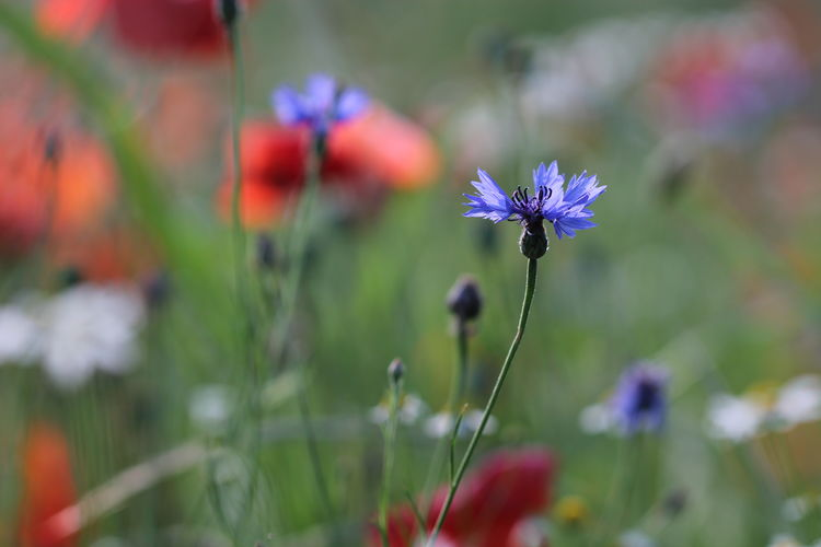Beauty In Nature Bokeh Photography Close-up Cornflower Day Flower Flower Head Flowering Plant Focus On Foreground Fragility Freshness Green Color Growth Inflorescence Nature No People Petal Plant Plant Stem Poppy Flowers Purple Selective Focus Springtime Vulnerability