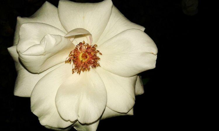 Flowers Nature On Your Doorstep Nature Photography Dark Nightphotography Black And White Flowerwhite