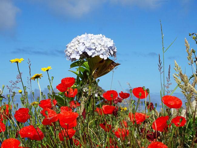 Flower Collection Hortensia Flower Flower Head Poppy Red Sky Close-up Plant Plant Life Softness Dandelion Fragility