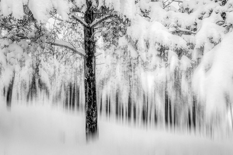 The dynamic view of pines under snow. Tree Plant Forest Beauty In Nature No People Land Tranquility Cold Temperature Scenics - Nature Trunk Tree Trunk Nature Tranquil Scene Day Non-urban Scene Growth Winter WoodLand Environment Outdoors Pine Tree Coniferous Tree Pine Woodland Fine Art Photography Blackandwhite