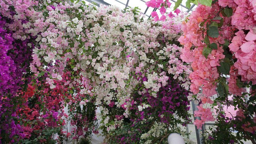 ブーゲンビリア ブーゲンハウス 佐賀県 嬉野市 嬉野温泉 Ureshino Saga,Japan Japan Flowering Plant Flower Plant Growth Beauty In Nature Freshness Pink Color Nature Outdoors Springtime Blossom Day