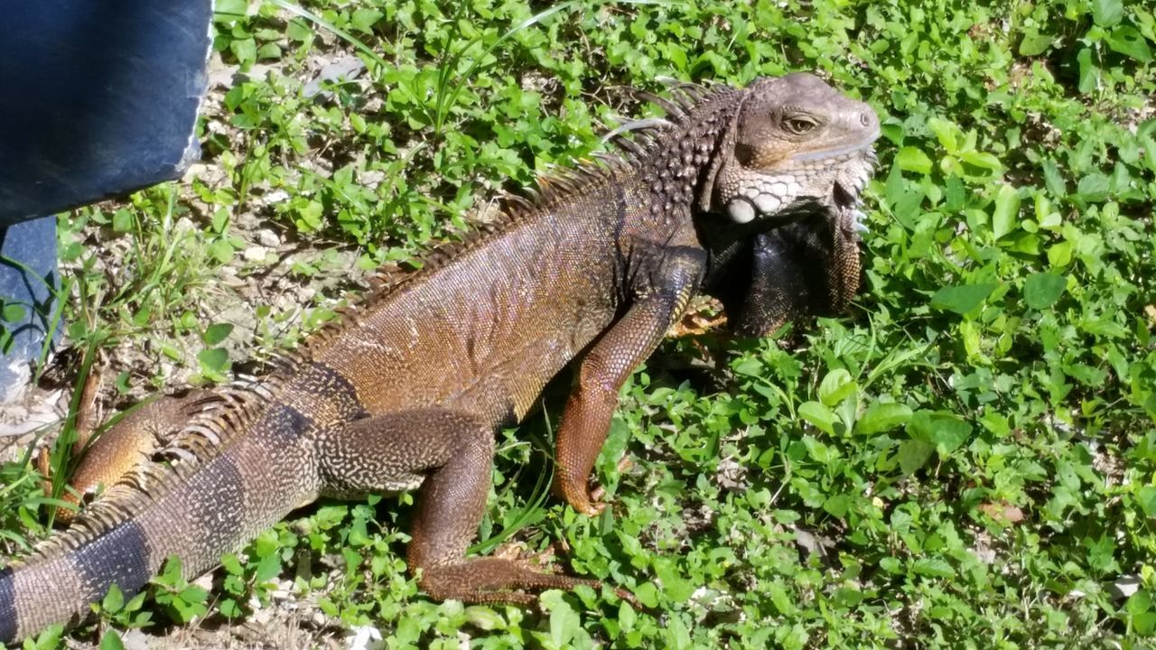 animals in the wild, animal themes, day, one animal, plant, nature, reptile, outdoors, animal wildlife, no people, mammal, grass, full length, iguana, close-up