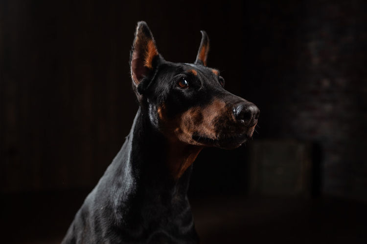 Doberman Pincher Portrait at the dark background Doberman  Doberman Pinscher Petal Dog Portrait Dog Head Dark Background One Animal Mammal Animal Themes Domestic Animals Domestic Animal Pets Canine Looking Animal Body Part Black Background Looking Away Indoors  Animal Head  Close-up No People Studio Shot Focus On Foreground Purebred Dog Profile View Animal Eye Contemplation Snout