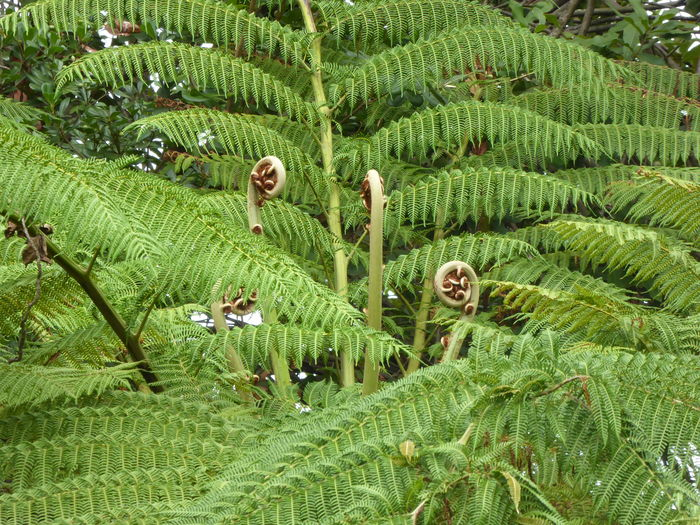 Botanical Gardens Fern Growth New Life Beauty In Nature Biology Botany Botany Close Up Close Up Fern Close Up Ferns Giant Fern Tree Green Color Growth In Australia Lush Greenery Lush Vegetation Nature Nature Close Up New Fern Fronds No People Plant
