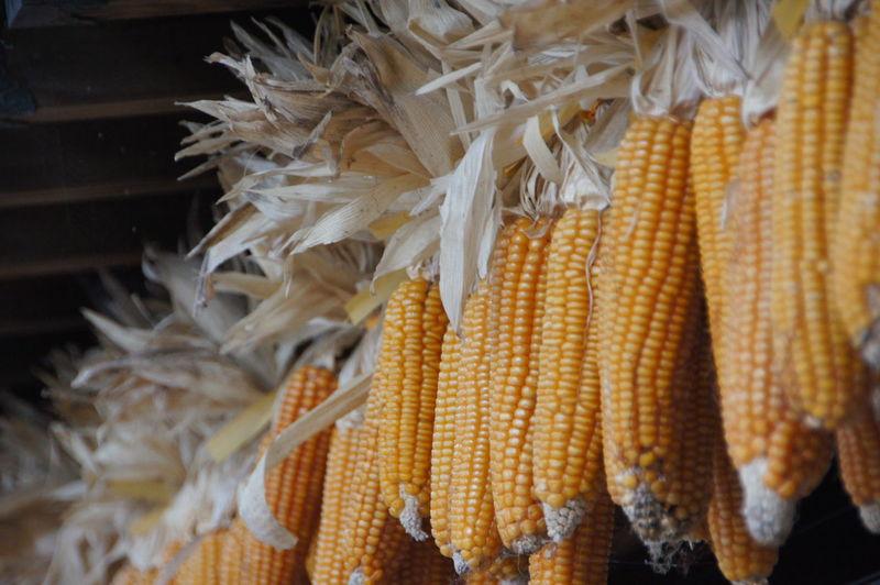 Low angle view of corns at market