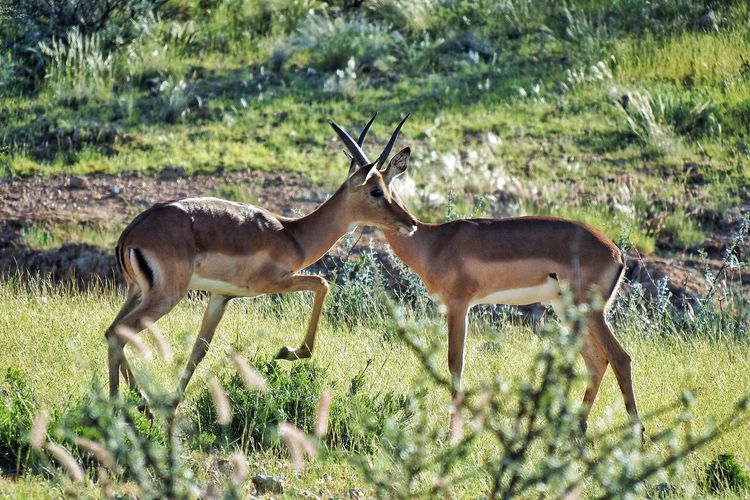 Impalas on grassy field