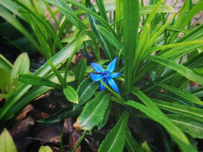 High angle view of blue flowering plant on field