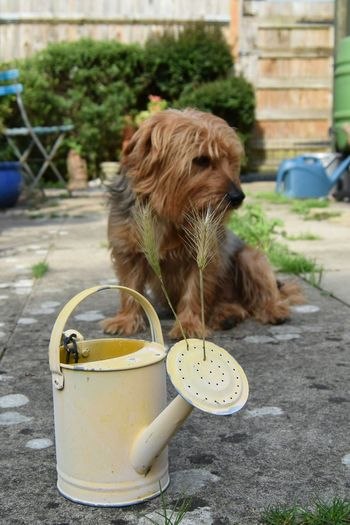Bored Dog Pets Domestic Animals Animal One Animal Animal Themes Sitting Outdoors Focus On Foreground No People Day Mammal Nikon D3300 Yorkshire Terrier My Budddy Flower Head In The Garden On The Patio Nikonphotographers EyeEm Best Shots