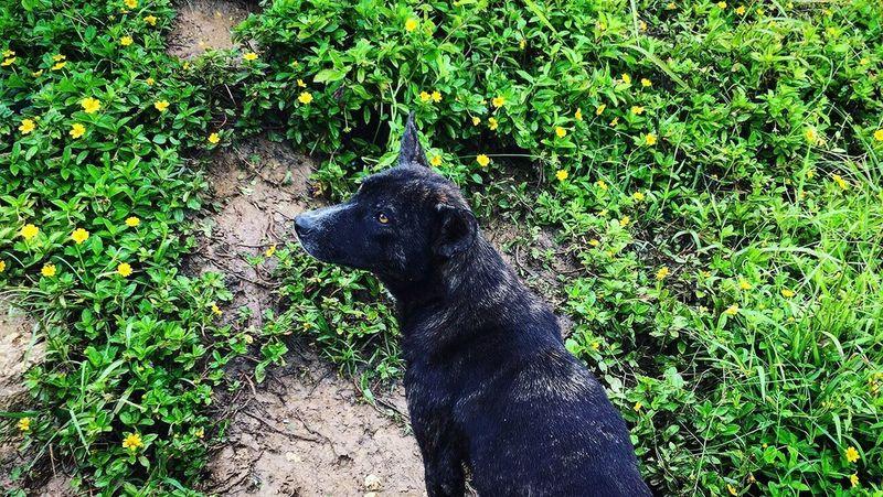 Dog One Animal Outdoors Green Color Day Black Labrador Pets Nature Plant Scenery Travel Destinations Adventure Leaf Flower Petal Osmeña Peak Cebu City, Philippines