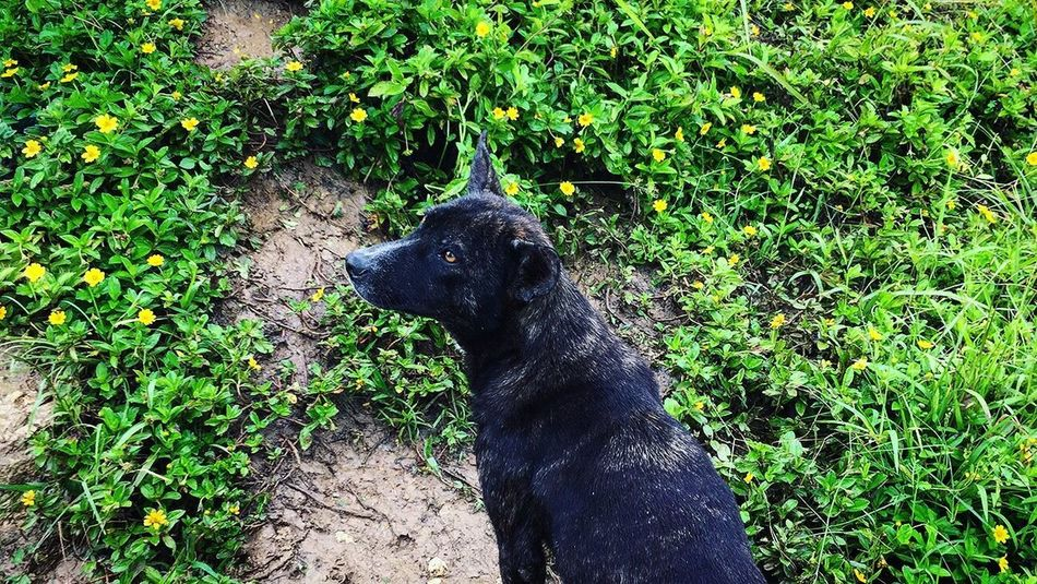 Dog One Animal Outdoors Green Color Day Black Labrador Pets Nature Plant Scenery Travel Destinations Adventure Leaf Flower Petal Osmeña Peak Cebu City, Philippines