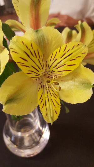 Tiger flower Tiger Flowers Yellow Brown Stripes Colorful Plant Life Flower Collection