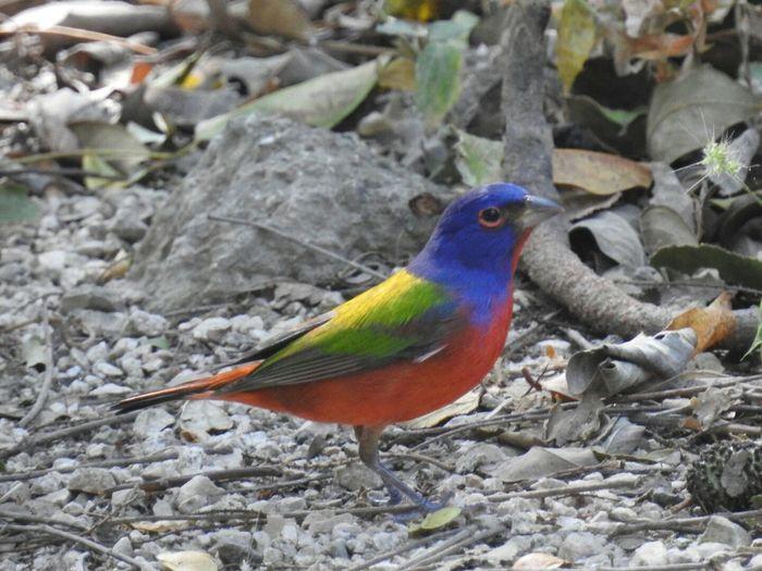 Costa Rica Guanacaste  Santa Rosa Parque Nacional Santa Rosa Área De Conservación Guanacaste Painted Bunting