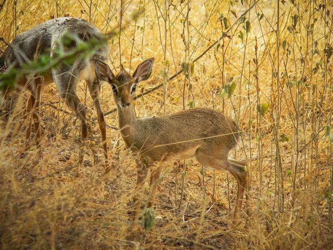 Shaba National Reserve in Northern Kenya - Dik-Dik Kenya National Park The Week On EyeEm Africa Animal Themes Animal Wildlife Animals In The Wild Day Dik-dik Field Grass Mammal Nature No People One Animal Outdoors Tourism Travel Destinations