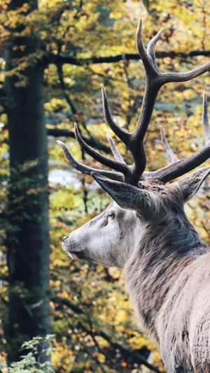 Antler Deer Stag Animal Themes Animals In The Wild One Animal Tree Nature No People Day Close-up Outdoors Mammal