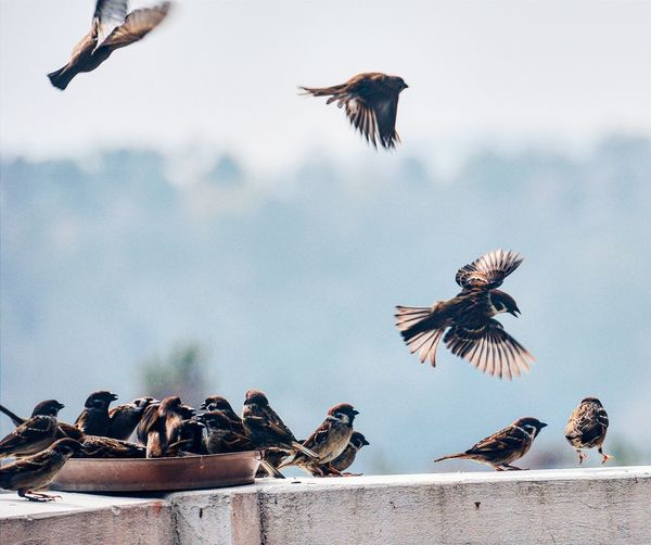 Low angle view of sparrows flying