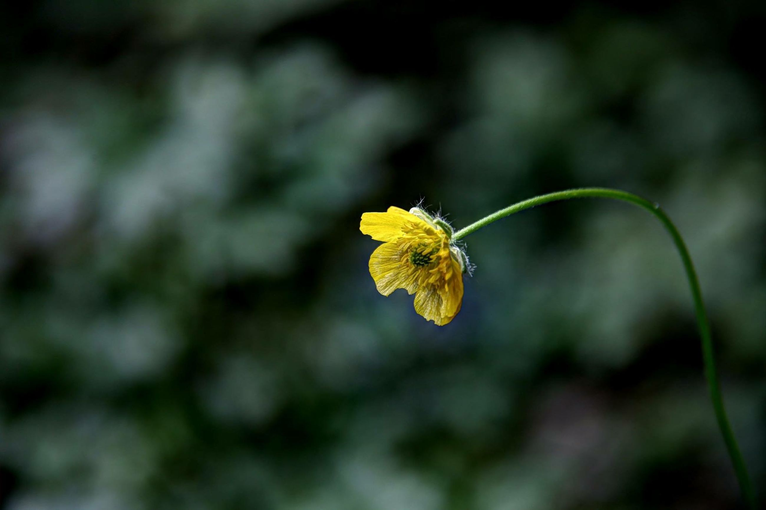 flower, insect, one animal, yellow, animals in the wild, animal themes, wildlife, focus on foreground, fragility, freshness, petal, close-up, flower head, pollination, growth, nature, beauty in nature, plant, bee, selective focus
