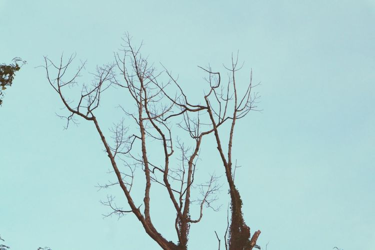 Bare Tree Nature Tree Clear Sky Branch Low Angle View No People Outdoors Day Beauty In Nature Sky