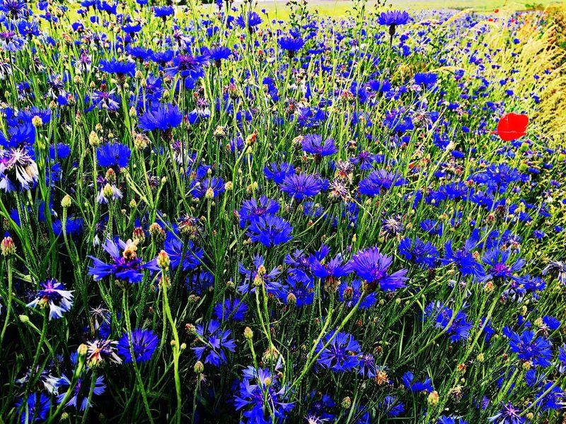 Kornblumenblau Sommerblumen Kornfeld