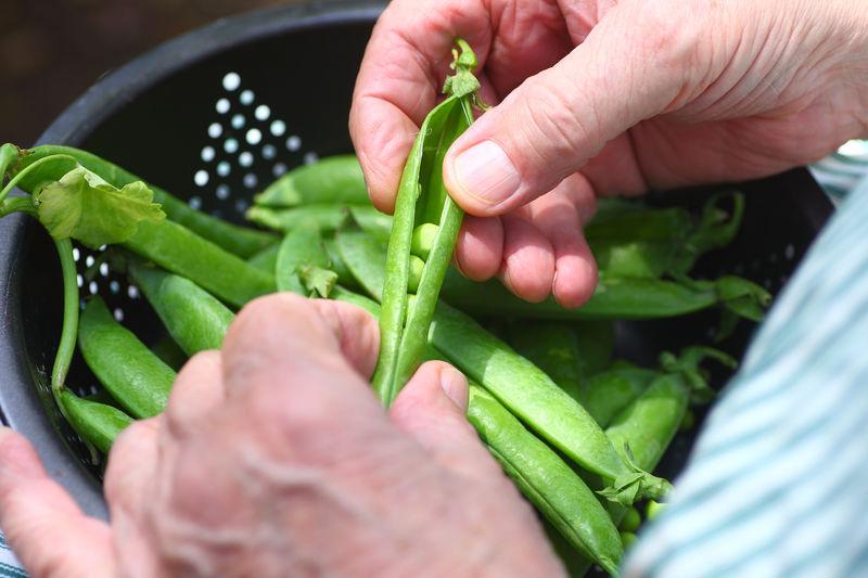 Shelling green peas outside