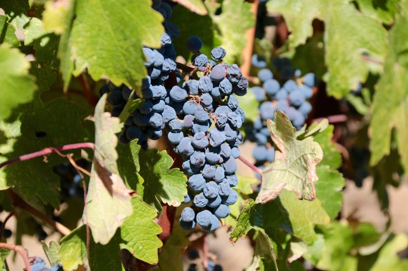 Close to be harvested Leaf Grape Food And Drink Vineyard Fruit Growth Day Outdoors Nature Bunch Agriculture Freshness Green Color No People Winemaking Vine - Plant Healthy Eating Plant Close-up Beauty In Nature