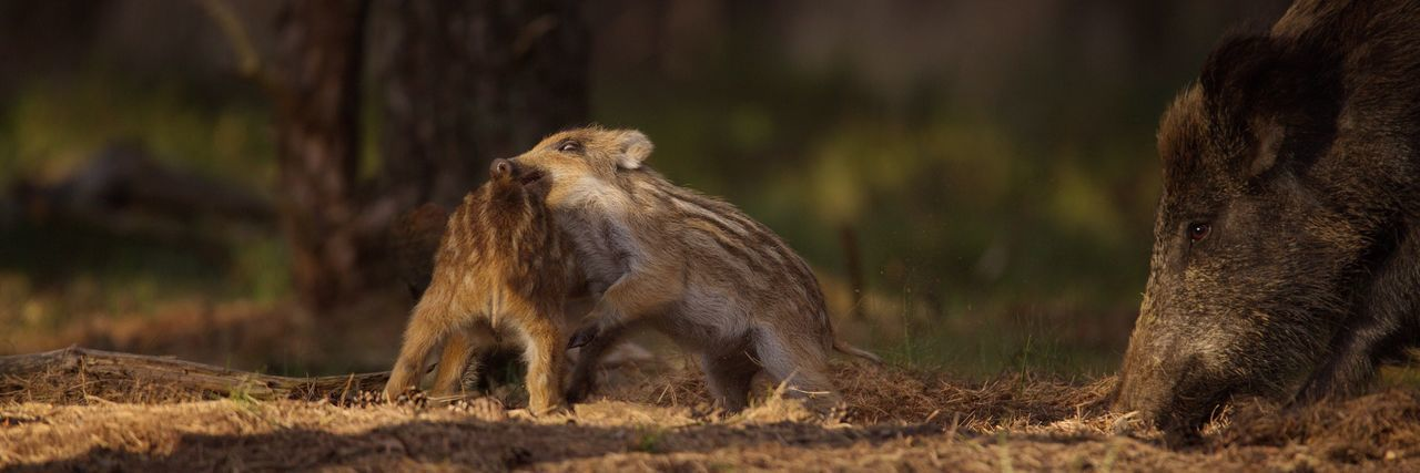 Close-up of wild boars grazing on field