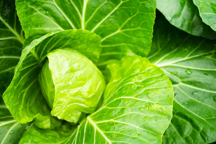Agriculture Branch Foliage Food Fresh Freshness Garden Gardening Green Growth Healthy Herbal Leaf Nature Organic Plant Salad Vegetable Water Wet