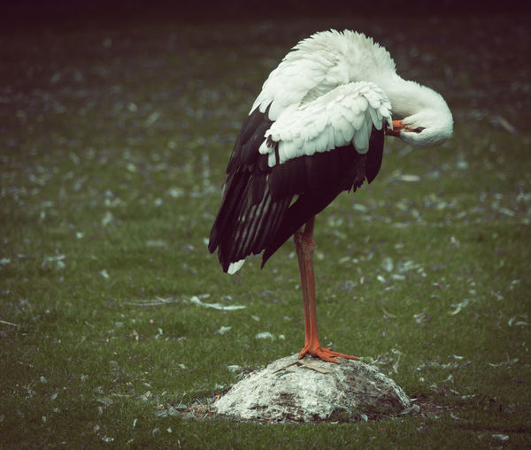 Close-Up Of Stork Perching On Grassy Field