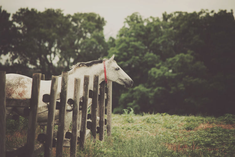 Side View Of Horse Standing On Field By Railing Against Trees