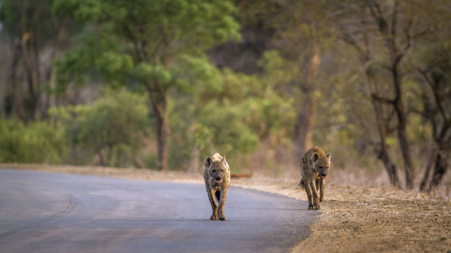 Hyenas walking on road