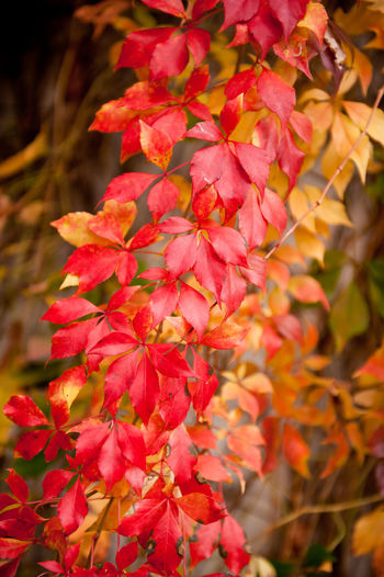 Vitaceae family red plant Parthenocissus quinquefolia vine yellow red leaves abstract on blurred background. Plant called woodbine, Virginia creeper, five leaved ivy, or five finger. Ornamental creeper plant with large deciduous leaves in autumn season. Photo taken in Poland. Vertical orientation, nobody. Autumn Climber Climbing Creeper Creeping Deciduous Foliage Hedge Ivy Leaf Leafage Leafy Leaved Leaves Nature No People Old Parthenocissus Parthenocissus Quinquefolia Plants Red Vine Vitaceae Wilted Woodbine