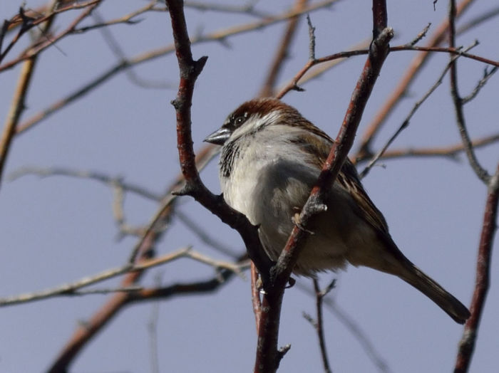 Low angle view of sparrow perching on branch against sky