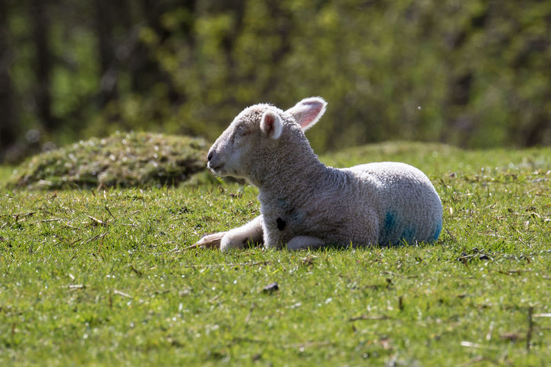 Spring lambs in the fields Animal Themes Babies Baby Domestic Animals Field Grass Grassland Grassy Lamb Lambing Lambing Season Lambs Mammal Nature Outdoors Relaxation Sheep Spring Springtime