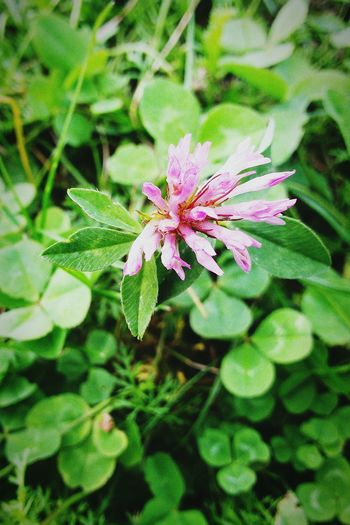 Flower Freshness Fragility Growth Pink Color Petal Leaf Plant Springtime Flower Head Beauty In Nature Nature Green Color Close-up In Bloom Single Flower Selective Focus Blossom Botany Green Clover Clover Flower Small Beauty Beauty In Small Things