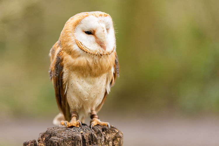 Close-up of owl perching