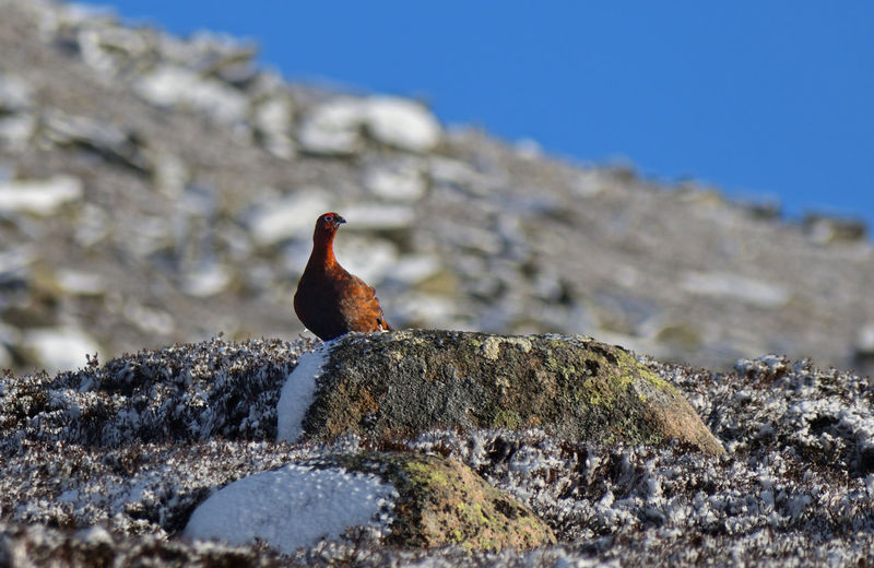 Grouse Cairngorms Bird Perching Clear Sky Mountain Blue Full Length Portrait Standing Looking At Camera Agriculture Mountain Peak