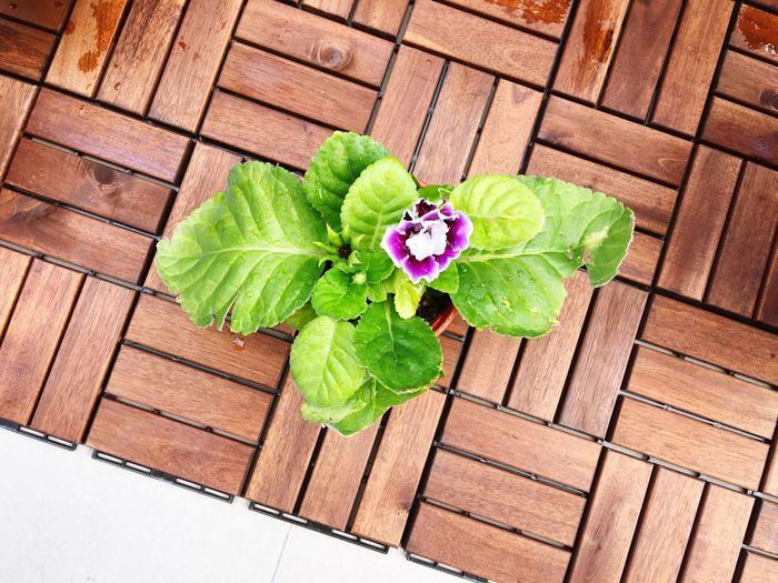 Gloxinia Flowers Leaf High Angle View Freshness Plant